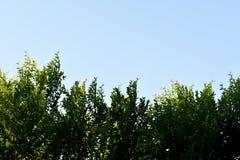Feuilles de vert d'isolement sur le fond bleu Image stock