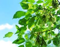 Feuilles de vert d'un arbre contre un bleu Photographie stock