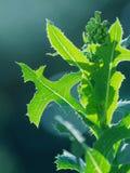 Feuilles de vert d'une mauvaise herbe de jardin Photo stock