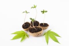 feuilles de vert d'usine de cannabis de bébé d'isolement Photographie stock libre de droits