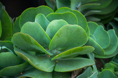 Feuilles de vert d'usine de palette de cactus de biscuit à l'avoine Photo libre de droits