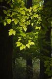 Feuilles de vert dans la lumière arrière Image stock