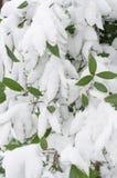 Feuilles de vert dans la neige Photos stock