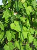 Feuilles de vert dans le jardin Image libre de droits