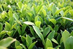 Feuilles de vert dans le jardin. Photographie stock