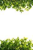 Feuilles de vert de banian d'isolement sur le fond blanc Images libres de droits