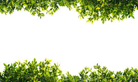 Feuilles de vert de banian d'isolement sur le fond blanc Image stock