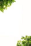 Feuilles de vert de banian d'isolement sur le fond blanc Photo stock