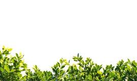 Feuilles de vert de banian d'isolement sur le fond blanc Photos libres de droits