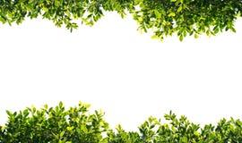 Feuilles de vert de banian d'isolement sur le fond blanc Images stock