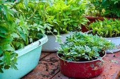Feuilles de vert de jeunes jeunes plantes des poivrons et des tomates dans des récipients Images libres de droits