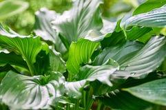 Feuilles de vert de Khosta Photo stock