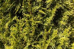 Feuilles de vert des aiguilles de pin images libres de droits