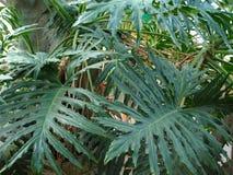 Feuilles de vert des arbres tropicaux photo libre de droits