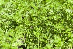 feuilles de vert des carottes Photo libre de droits