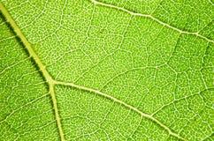 Feuilles de vert des tournesols Photographie stock