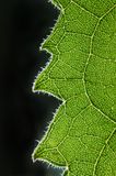 Feuilles de vert des tournesols Photo libre de droits