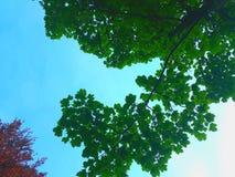 Feuilles de vert en ciel bleu Photos stock
