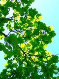 Feuilles de vert en soleil Images libres de droits
