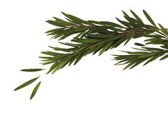 Feuilles de vert et branche de l'arbre de brosse de bouteille d'isolement sur le fond blanc photos stock