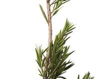 Feuilles de vert et branche de l'arbre de brosse de bouteille d'isolement sur le fond blanc image stock