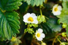 Feuilles de vert et fleurs d'une jeune fraise de floraison images stock