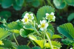 Feuilles de vert et fleurs d'une jeune fraise de floraison photo libre de droits