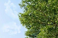 Feuilles de vert et fond de nuage Images libres de droits
