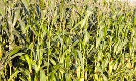 Feuilles de vert de maïs Photos stock