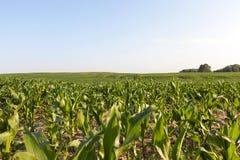 Feuilles de vert de maïs Image libre de droits