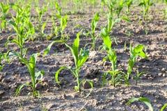 Feuilles de vert de maïs Photo libre de droits
