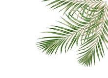 Feuilles de vert de palmier d'isolement sur le fond blanc Photos libres de droits