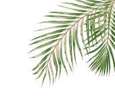 Feuilles de vert de palmier d'isolement sur le fond blanc Image libre de droits