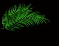 Feuilles de vert de palmier sur le fond noir Photo stock