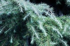 Feuilles de vert de pin Photo libre de droits