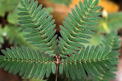 Feuilles de vert de pudica de mimosa d'Indonésie images libres de droits