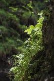 Feuilles de vert s'élevant dans une crevasse de roche Images libres de droits