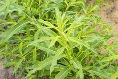 Feuilles de vert de Saule-herbe, Ivan-thé, Kiprei, thé étroit-leaved, usine croissante dans le jardin, dehors, fond de nourriture Images libres de droits