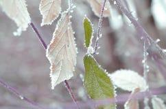Feuilles de vert sous la neige photographie stock libre de droits