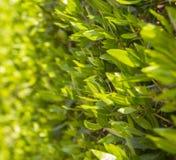 Feuilles de vert sur le buisson Image libre de droits