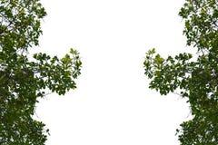 Feuilles de vert sur le fond blanc d'isolement Photos stock