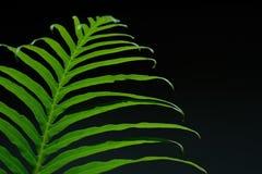 Feuilles de vert sur le fond noir Image libre de droits
