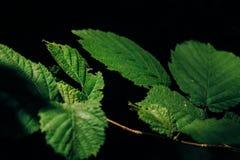 Feuilles de vert sur un fond foncé images stock
