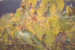 Feuilles de vigne après la récolte d'automne photo stock