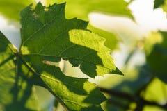 Feuilles de vigne avec des lumières de matin Images stock