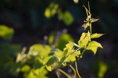Feuilles de vigne avec des lumières de matin Photographie stock