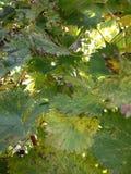 Feuilles de vigne d'automne contre le contexte de coucher du soleil photographie stock