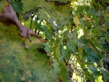 Feuilles de vigne d'automne contre le contexte de coucher du soleil image libre de droits