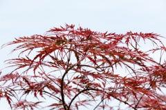 Feuilles de vin rouge de l'arbre d'érable japonais complètement Image libre de droits