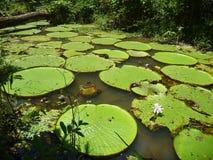 Feuilles de Waterlily flottant sur l'eau photos stock